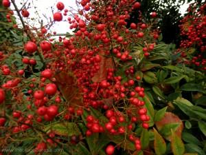 Berries on bush
