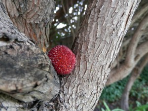 berry in branch