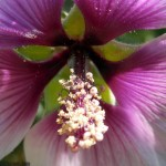 Even closerview of hibiscus