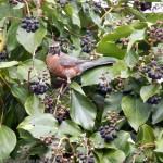 Robin in berries