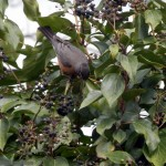 robin is the bird