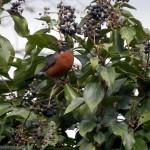 the bird is a robin