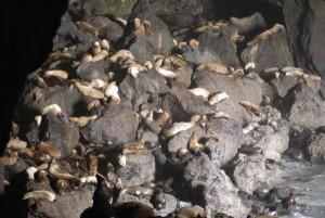 Rock full of seals
