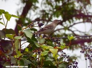 Bird on false grapes