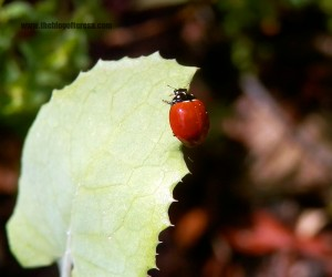 Ladybug (as a kid I used to think the ones with spots were boys and the ones without spots were girls)