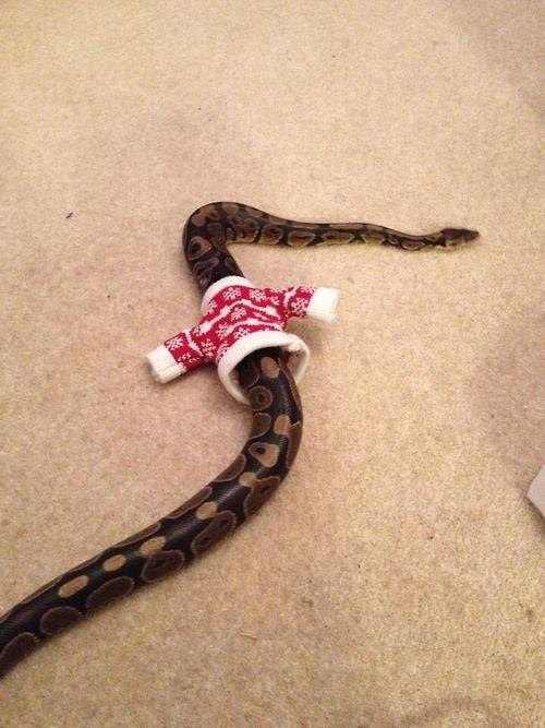 snakewearing a sweater
