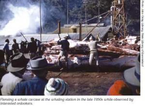 0909p20-flensing-a-whale-carcass