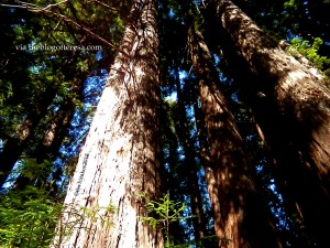 BIG Redwood Trees