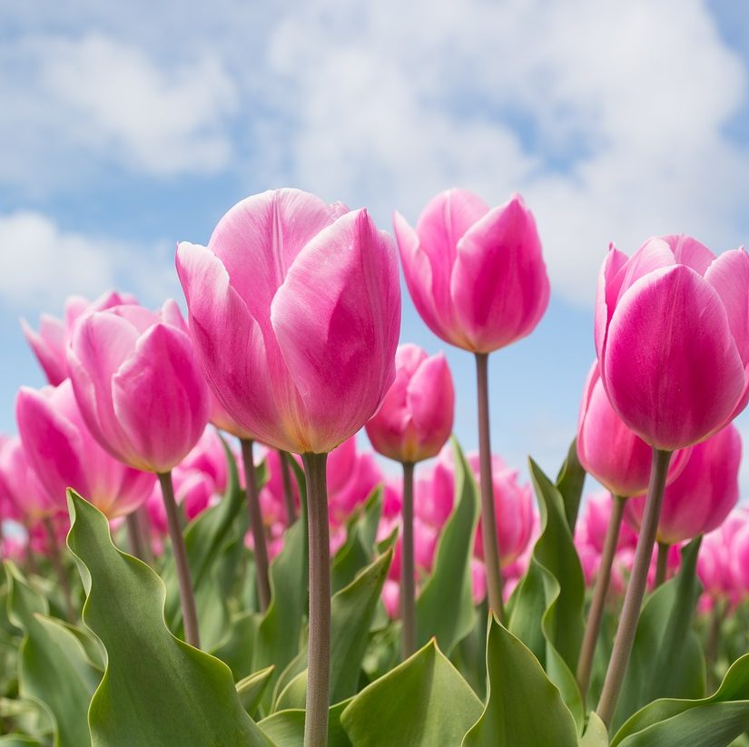 pink tulips TULIP CROCHET STITCHtheblogofteresa.com @craftedbytw